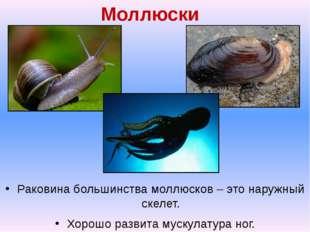 Моллюски Раковина большинства моллюсков – это наружный скелет. Хорошо развита