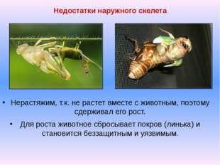 Недостатки наружного скелета Нерастяжим, т.к. не растет вместе с животным, по