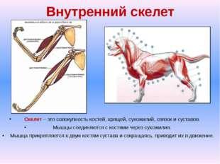 Внутренний скелет Скелет – это совокупность костей, хрящей, сухожилий, связок