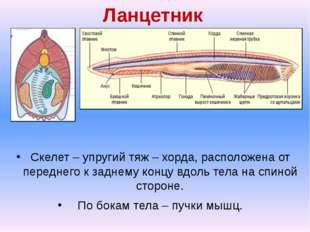 Ланцетник Скелет – упругий тяж – хорда, расположена от переднего к заднему ко
