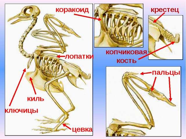 пальцы киль лопатки коракоид копчиковая кость ключицы крестец цевка