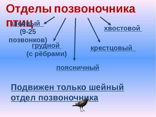 Отделы позвоночника птиц шейный (9-25 позвонков) грудной (с рёбрами) поясничн...