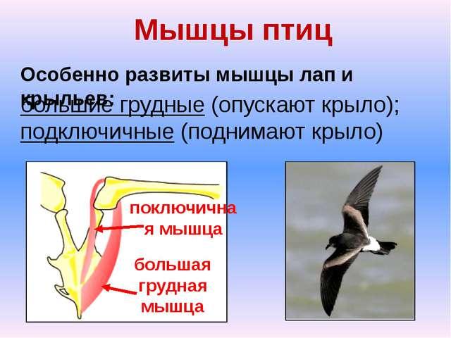 Мышцы птиц Особенно развиты мышцы лап и крыльев: большие грудные (опускают кр...