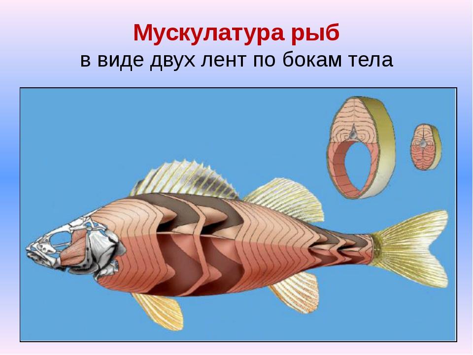 Мускулатура рыб в виде двух лент по бокам тела