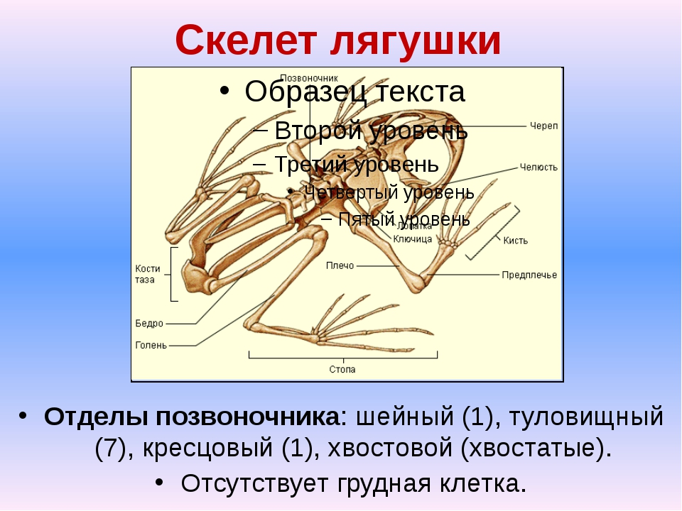 Скелет лягушки Отделы позвоночника: шейный (1), туловищный (7), кресцовый (1)...