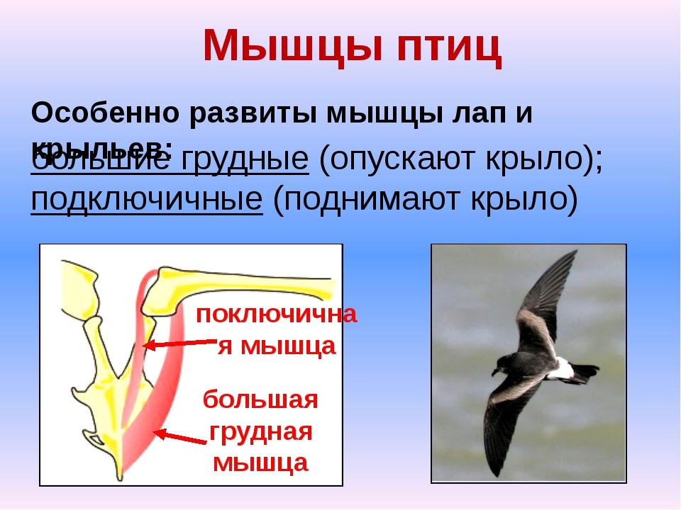 Особенности мышц у птиц