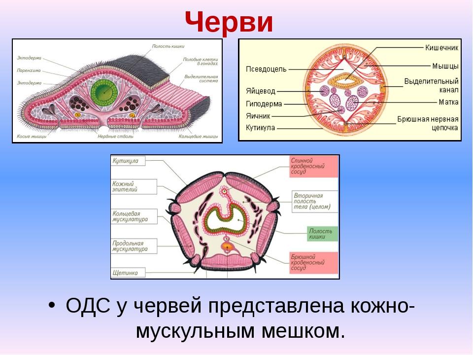 Черви ОДС у червей представлена кожно-мускульным мешком.
