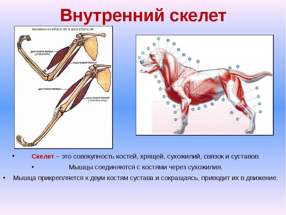 Внутренний скелет Скелет – это совокупность костей, хрящей, сухожилий, связок...