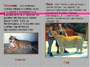Лигр - это помесь самца льва и самки тигра. Они являются самыми крупными из с