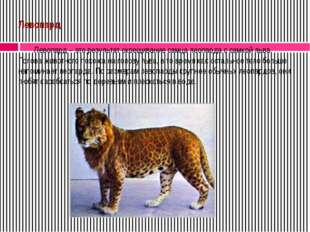 Левопард Левопард – это результат скрещивание самца леопарда с самкой льва.