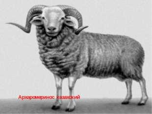 Архаромеринос казахский