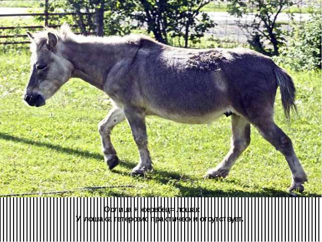 Ослица + жеребец= лошак. У лошака гетерозис практически отсутствует.