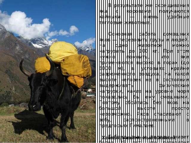 Хайнык, навьюченный поклажей. В результате же скрещивания яка с коровами пол...