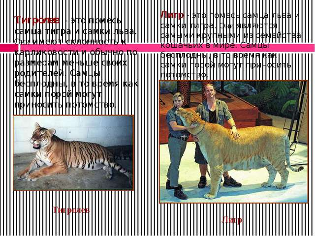 Лигр - это помесь самца льва и самки тигра. Они являются самыми крупными из с...