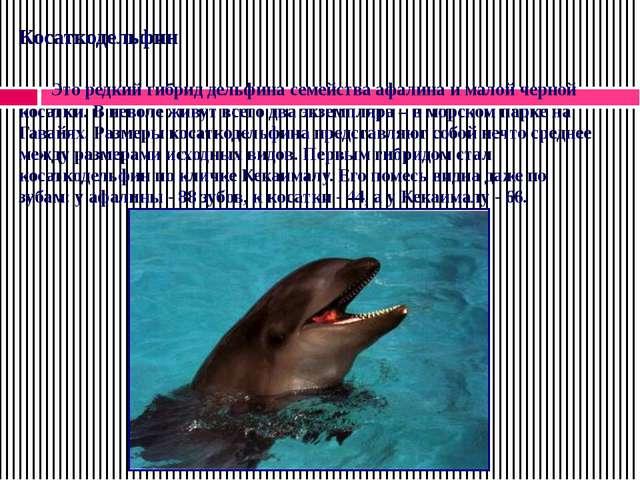Косаткодельфин Это редкий гибрид дельфина семейства афалина и малой черной к...