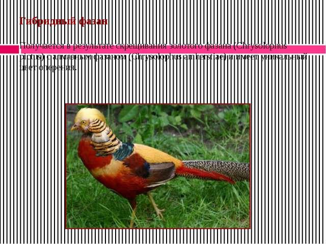 Гибридный фазан Получается в результате скрещивания золотого фазана (Chrysolo...