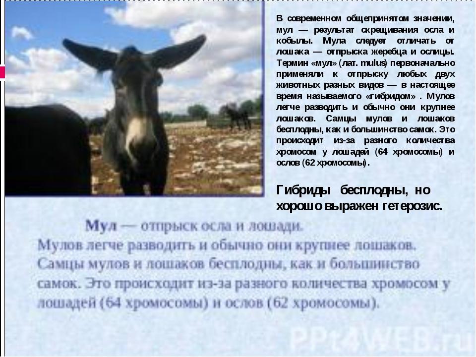 В современном общепринятом значении, мул — результат скрещивания осла и кобы...