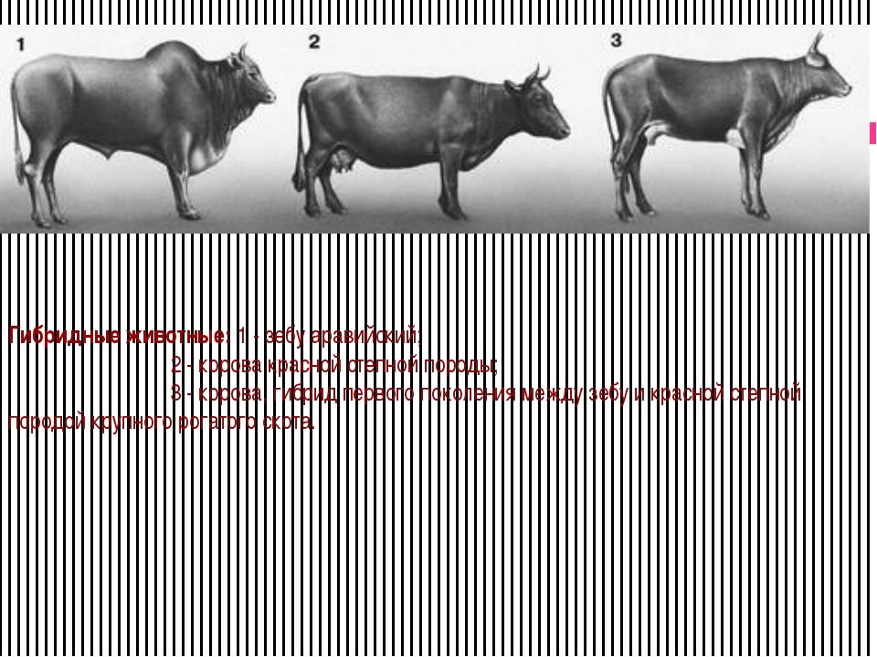 Гибридные животные: 1 - зебу аравийский; 2 - корова красной степной породы;...