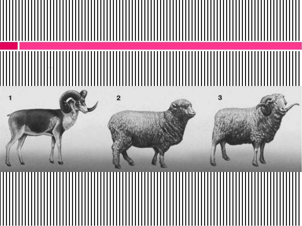 Гибридные животные: 1 - дикий баран архар; 2 - овца породы прекос; 3 - баран...