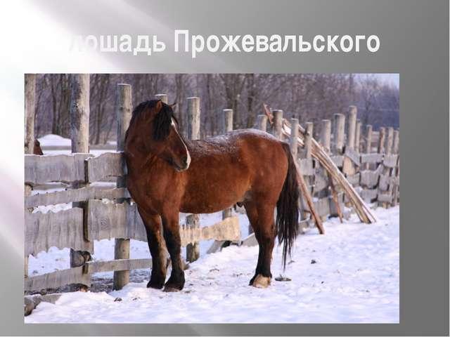 лошадь Прожевальского