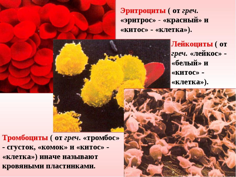 Эритроциты ( от греч. «эритрос» - «красный» и «китос» - «клетка»). Лейкоциты...
