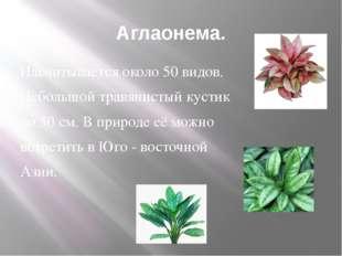 Аглаонема. Насчитывается около 50 видов. Небольшой травянистый кустик до 50 с