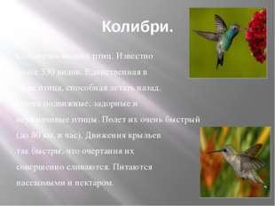 Колибри. Семейство мелких птиц. Известно более 330 видов. Единственная в мире