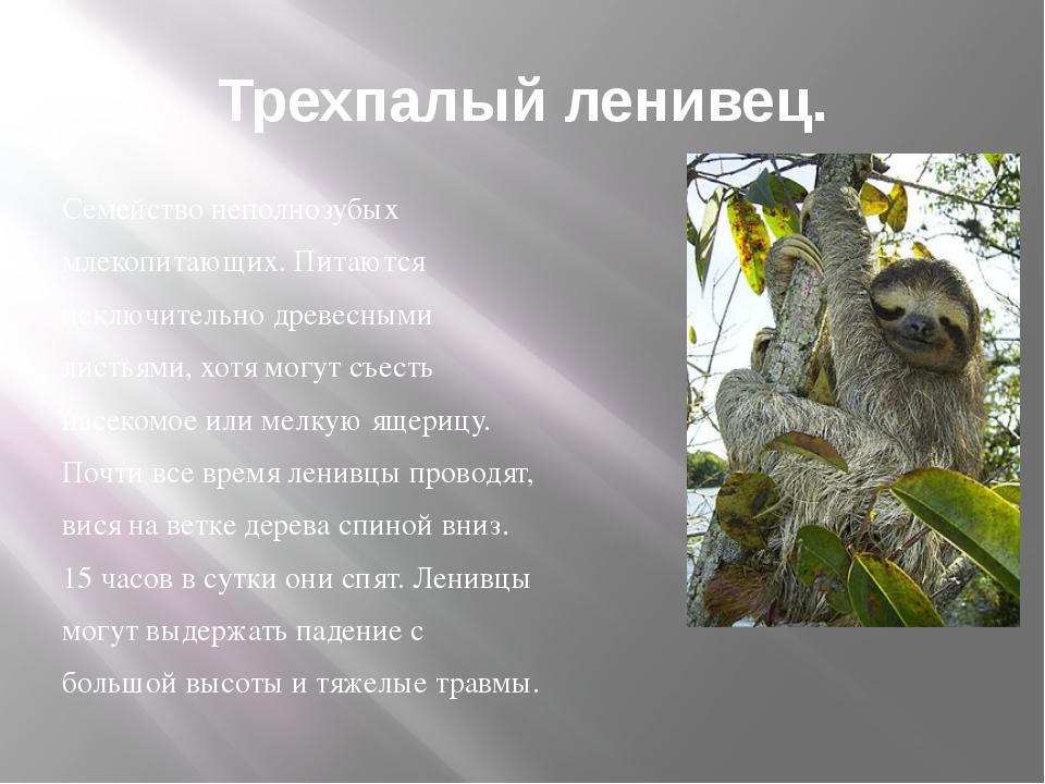 Трехпалый ленивец. Семейство неполнозубых млекопитающих. Питаются исключитель...
