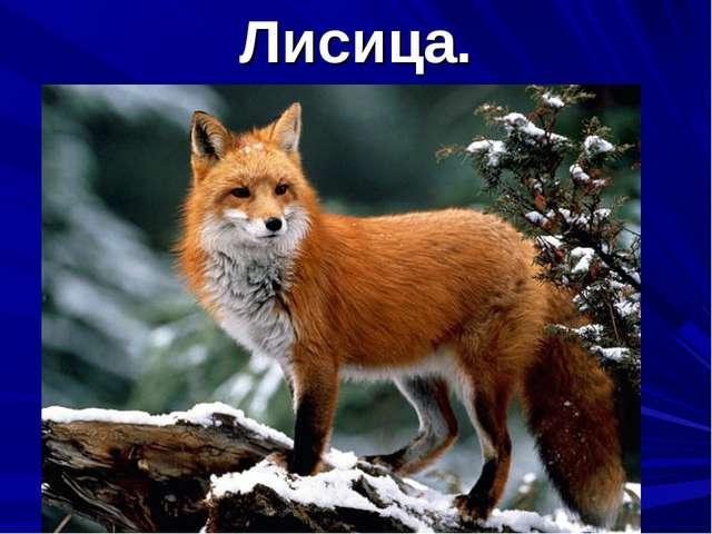 Лисица.