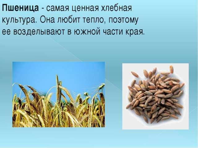 Пшеница- самая ценная хлебная культура. Она любит тепло, поэтому ее возделыв...