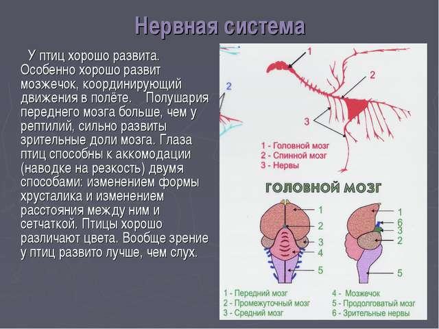 Развитие мозжечка у птиц связано