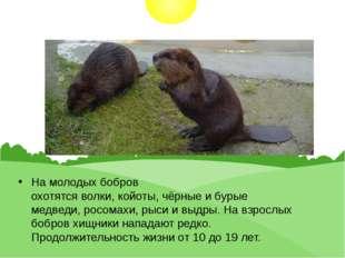 На молодых бобров охотятсяволки,койоты,чёрныеибурые медведи,росомахи,р
