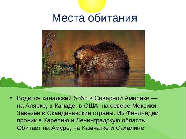 Места обитания Водится канадский бобр в Северной Америке — наАляске, вКана...
