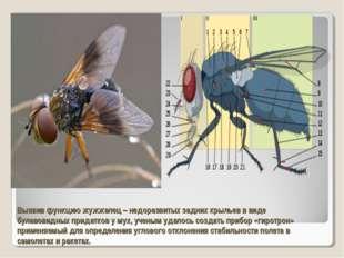 Выявив функцию жужжалец – недоразвитых задних крыльев в виде булавовидных при