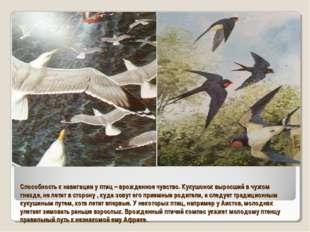 Способность к навигации у птиц – врожденное чувство. Кукушонок выросший в чуж