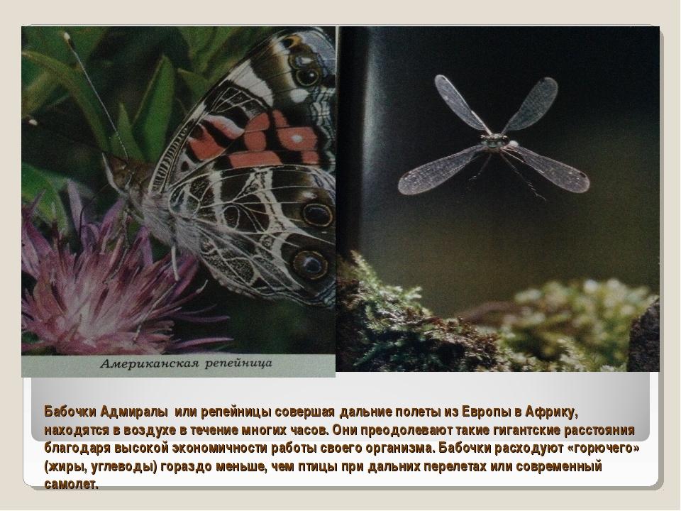 Бабочки Адмиралы или репейницы совершая дальние полеты из Европы в Африку, на...
