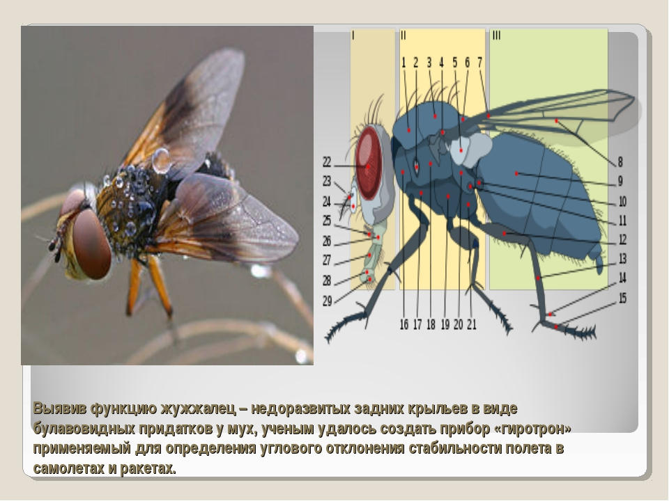 Выявив функцию жужжалец – недоразвитых задних крыльев в виде булавовидных при...
