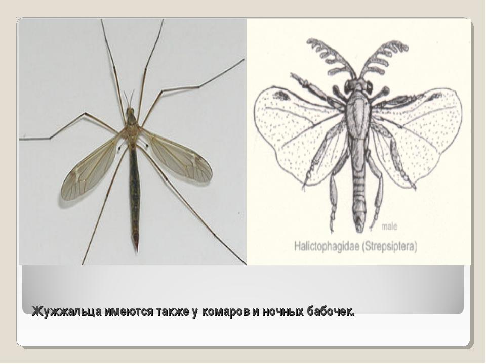 Жужжальца имеются также у комаров и ночных бабочек.