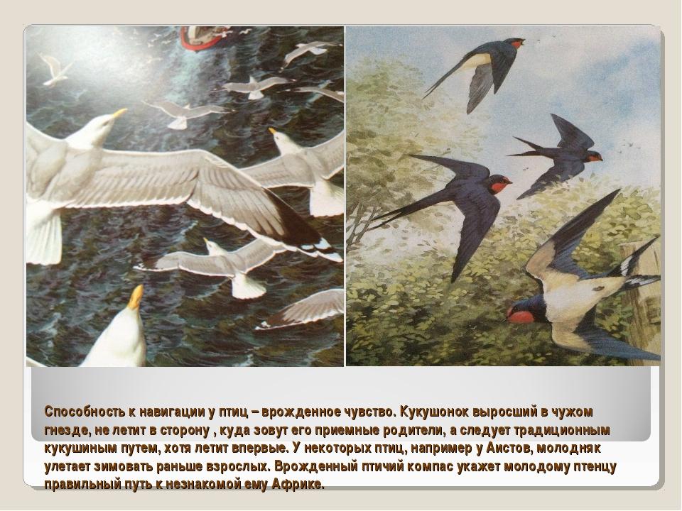 Способность к навигации у птиц – врожденное чувство. Кукушонок выросший в чуж...