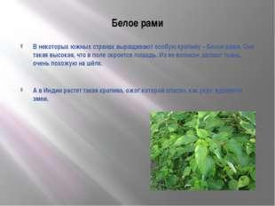 Белое рами В некоторых южных странах выращивают особую крапиву – Белое рами.