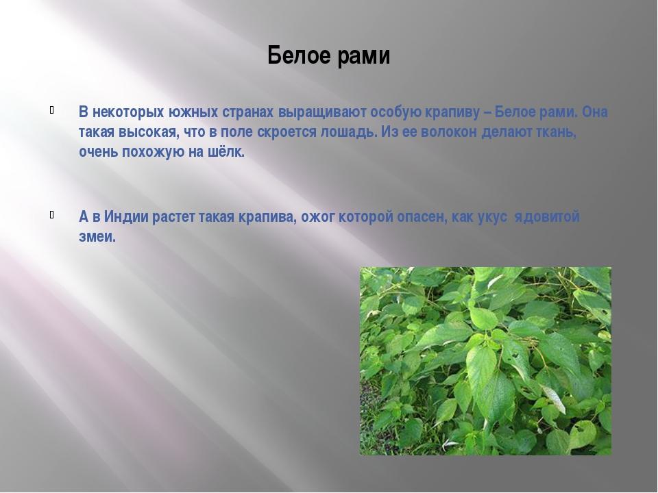 Белое рами В некоторых южных странах выращивают особую крапиву – Белое рами....