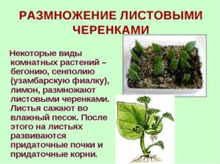 РАЗМНОЖЕНИЕ ЛИСТОВЫМИ ЧЕРЕНКАМИ Некоторые виды комнатных растений – бегонию,