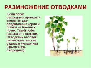 РАЗМНОЖЕНИЕ ОТВОДКАМИ Если побег смородины прижать к земле, он даст придаточн