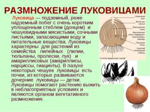 РАЗМНОЖЕНИЕ ЛУКОВИЦАМИ Луковица — подземный, реже надземный побег с очень кор
