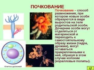 ПОЧКОВАНИЕ Почкование – способ размножения, при котором новые особи образуютс