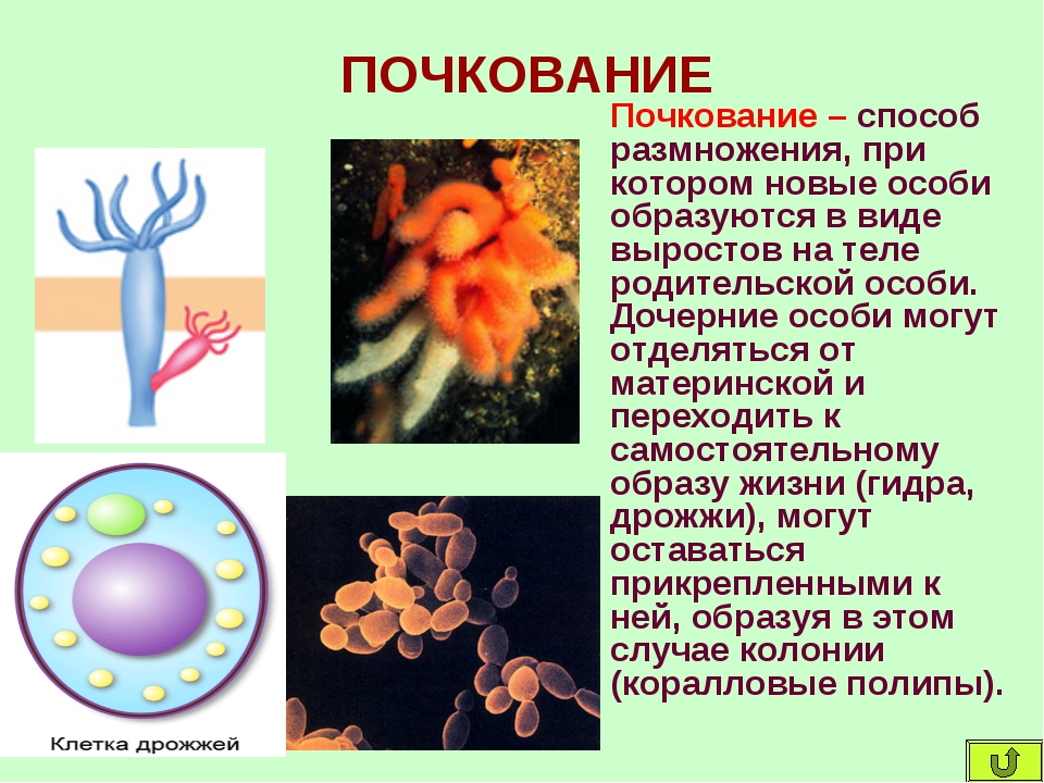 ПОЧКОВАНИЕ Почкование – способ размножения, при котором новые особи образуютс...