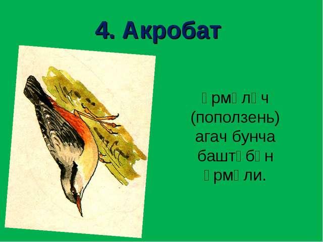 4. Акробат Үрмәләч (поползень) агач бунча баштүбән үрмәли.