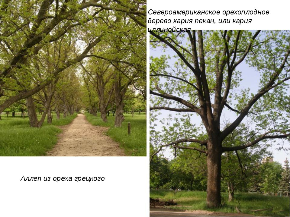 Аллея из ореха грецкого Североамериканское орехоплодное дерево кария пекан, и...
