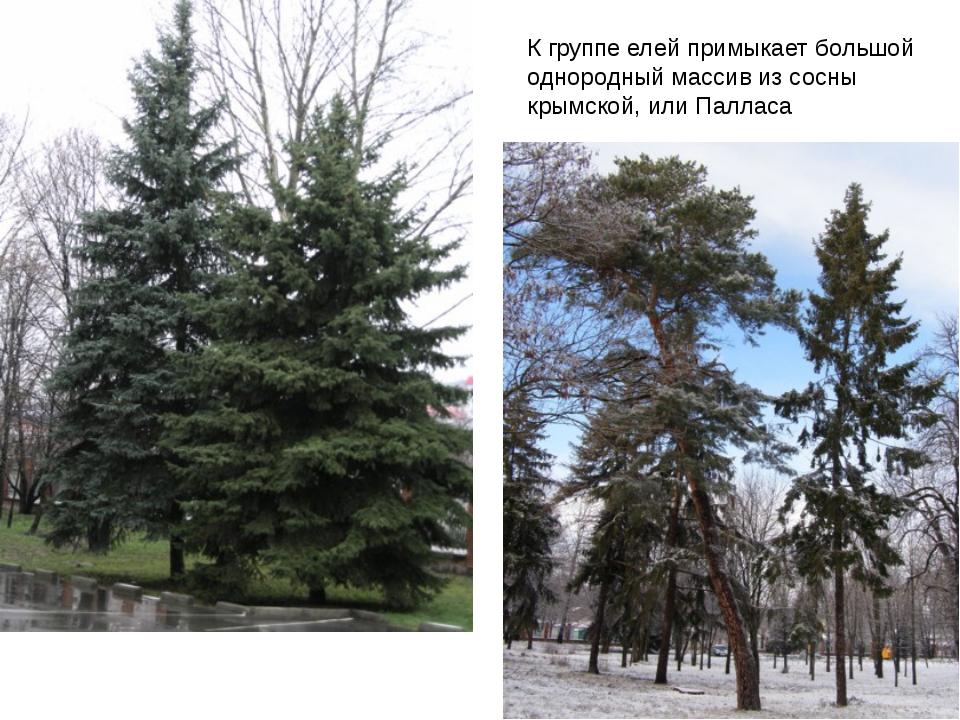 К группе елей примыкает большой однородный массив из сосны крымской, или Палл...