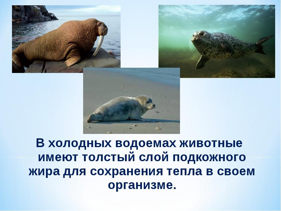 В холодных водоемах животные имеют толстый слой подкожного жира для сохранени...